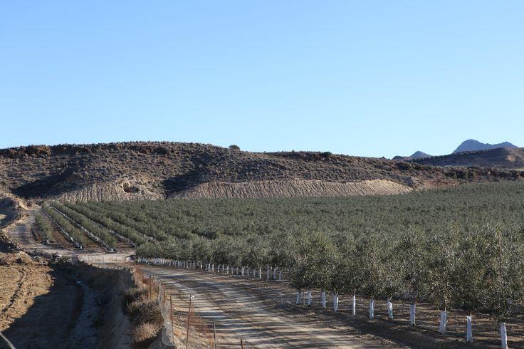 www.oleoalmanzora.com Pulpí, San Juan de los terrerros,  Almería, Andalucía, España.  Aceite de Oliva Virgen Extra, Selección Gourmet. Extra Virgin olive oil. AOVE, EVOO, PREMIUM, salud, bienestar.