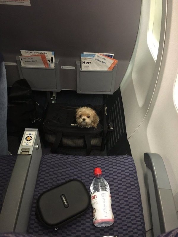 This teeny tiny pup who's ready to fly. | Just A Bunch Of Beautiful Dogs On Planes