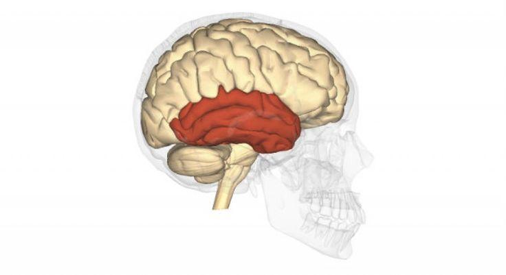 El lóbulo temporal es una región del cerebro que cumple distintas funciones en nuestro sistema nervioso. Se encarga de integrar la información sensorial y...