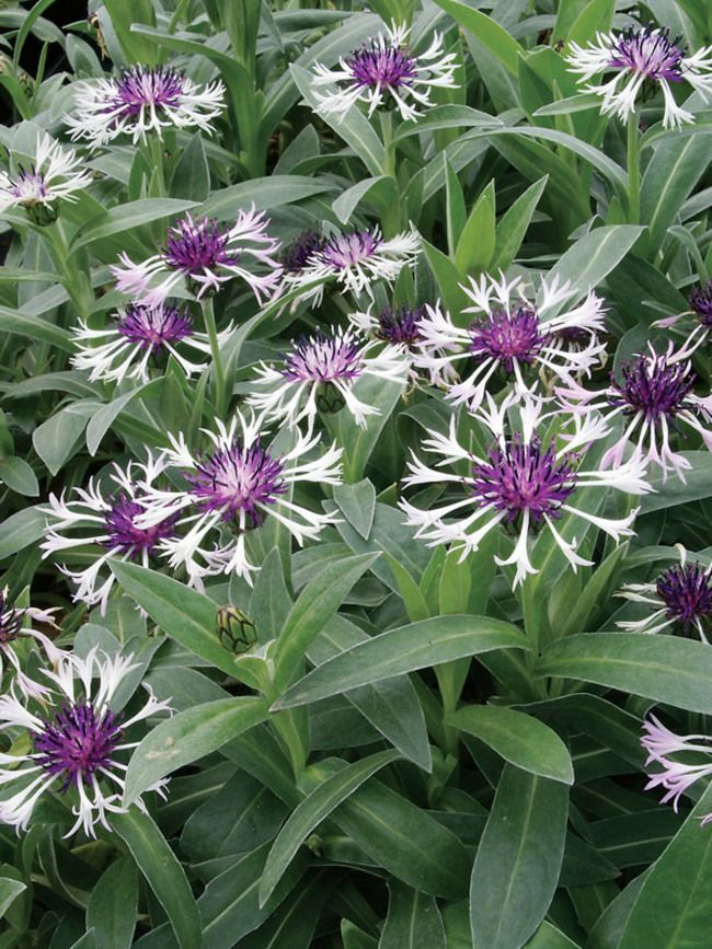 Centaurea montana Amethyst In Snow  Perennial Bachelor's Button, Cornflower, Basket Flower, short, blooms mid spring to early summer, mostly sun