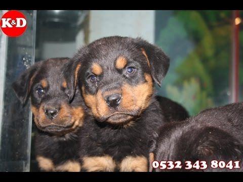 Rottweiler Yavruları 0532 343 8041