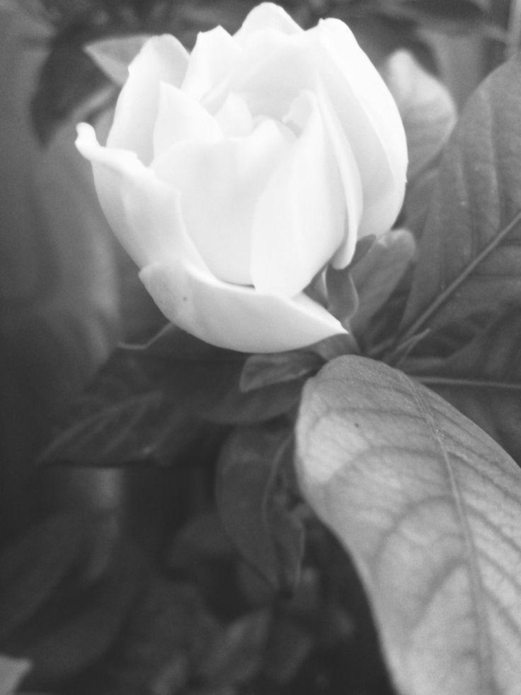 White Gardenia  by GhadaCamelia