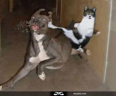 Ninja kick to the face.: Kungfu, Cat Norris, Funny Cat, Funny Pictures, Kung Fu, Ninjas Cat, Funny Stuff, Funny Animal, Chuck Norris