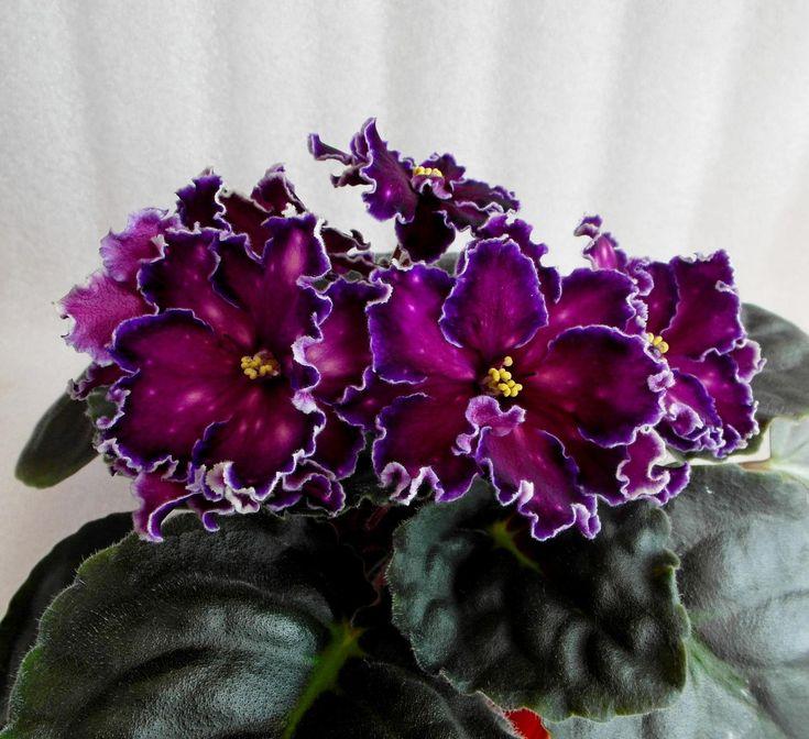 African violets                                        Танец Галактик (Морев)