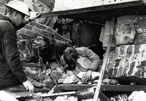 Released to the world in 2009, this undated photo shows the Blitz rescue dog known as Rip as he rescued a trapped victim from a bombed out building in London. Rip was a stray dog who became something of a War hero after being found homeless and starving during a bombing raid on London.