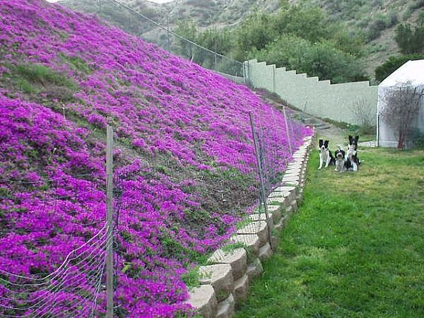 How To Grow Ice Plant Oh My This Picture Shows It Would Be On Hillside Perfectly Backyard Possibilities Pinterest Plants And