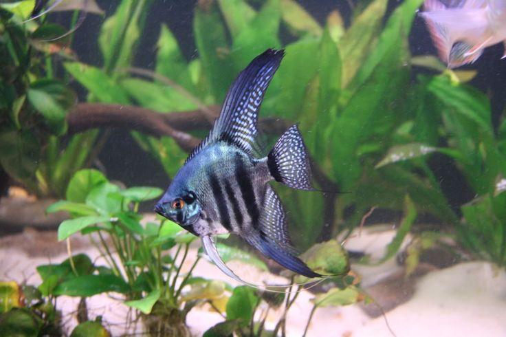 Pinoy Blue Zebra Angelfish