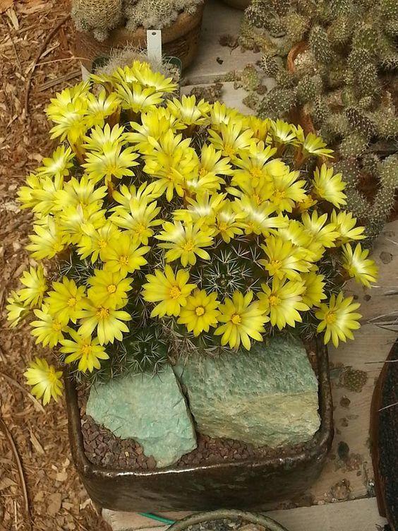 Раритет - редкие суккуленты Mammillaria melaleuka