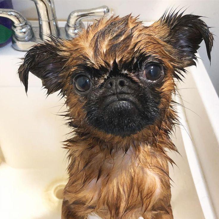Mama says that on the first day of Korean/Asian/Chinese New Year dogs are supposed to get baths for good luck. Am I being punked? 새해 복 많이 받으세요  . . . . . #bartdanzig #danzigbros #brusselsgriffon #petitbrabancon #griffon #puppy #puppiesofinstagram  #dogsofinstagram #weeklyfluff #socalbrusselsgriffons #buzzfeedanimals #mydogiscutest #cutepetclub #dailybarker #grumpygriffons #everydayimbrusseling #dogsofla #멍스타그램 #강아지 #개스타그램#losangeles #grumpy #grumpydog #koreannewyear #chinesenewyear…