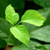 Good tips on safely removing poison ivy from the garden!