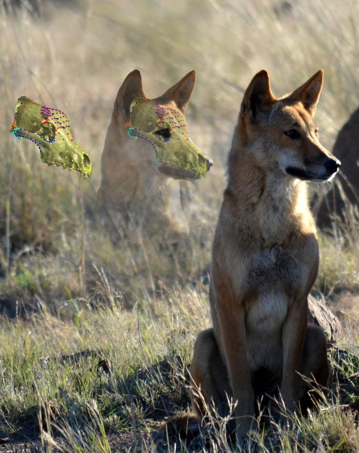 Australia's largest predator, the dingo, is resistant to one of the main threats to its survival as a species -- changes to skull shape brought about by cross breeding (hybridization) with dogs, research shows.