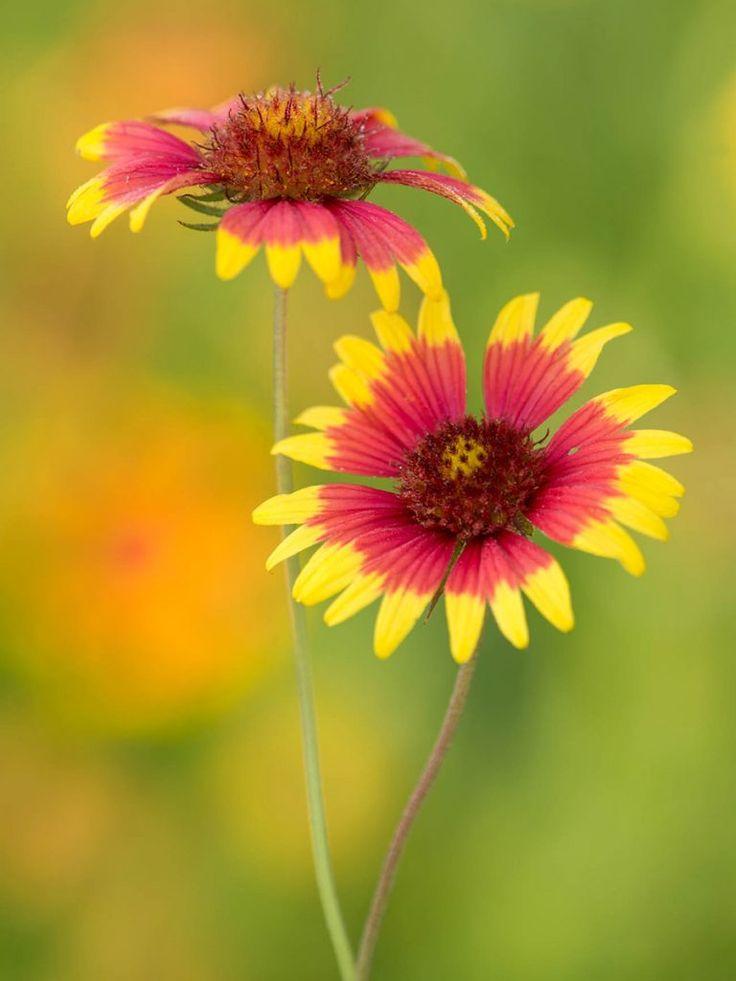 Texas Top 20 Lady Bird Johnson Wildflower Center Wild Flowers Indian Blanket Flower Indian Paintbrush Flowers