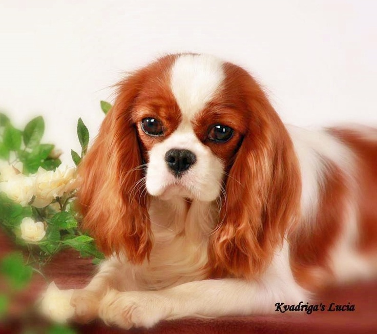 1000 images about awwwww on pinterest cavalier king charles spaniels and king charles. Black Bedroom Furniture Sets. Home Design Ideas