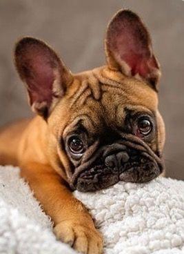 Gorgeous Frenchie!