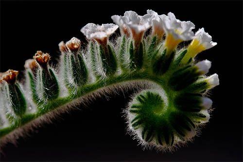 Boraginaceae: Capture Macros, Beautiful Natural, Macros Photograpi, Amazing Natural, Boraginacea Heliotropium, Macros Photography, Heliotropium Ellipticum, Stunning Macros, Macros Phototast