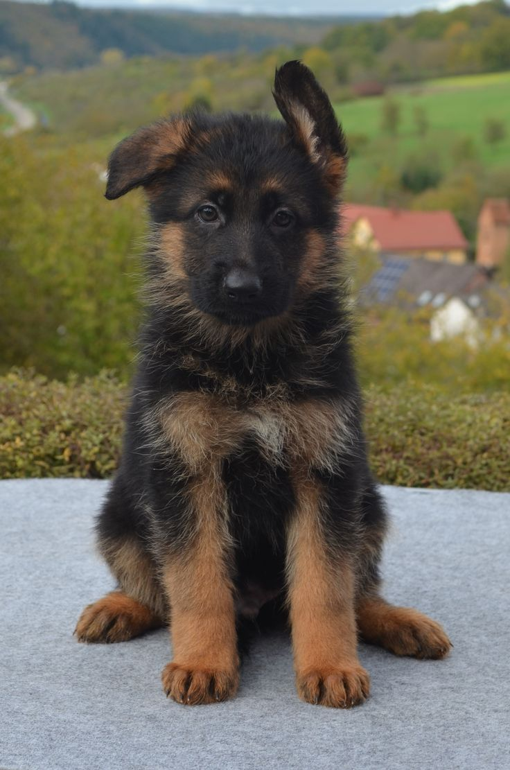 Imported male puppy from Sire VA Nero von Ghattas and Dam