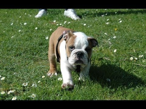 Cute Bulldogs Compilation in case of bad day emergency press play