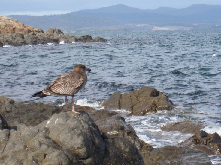 Pacific gull ready for lunch