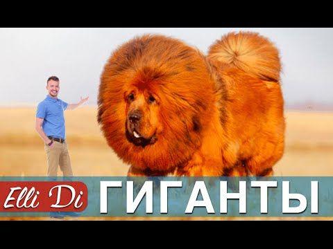 Топ 10 самые большие собаки в мире - YouTube