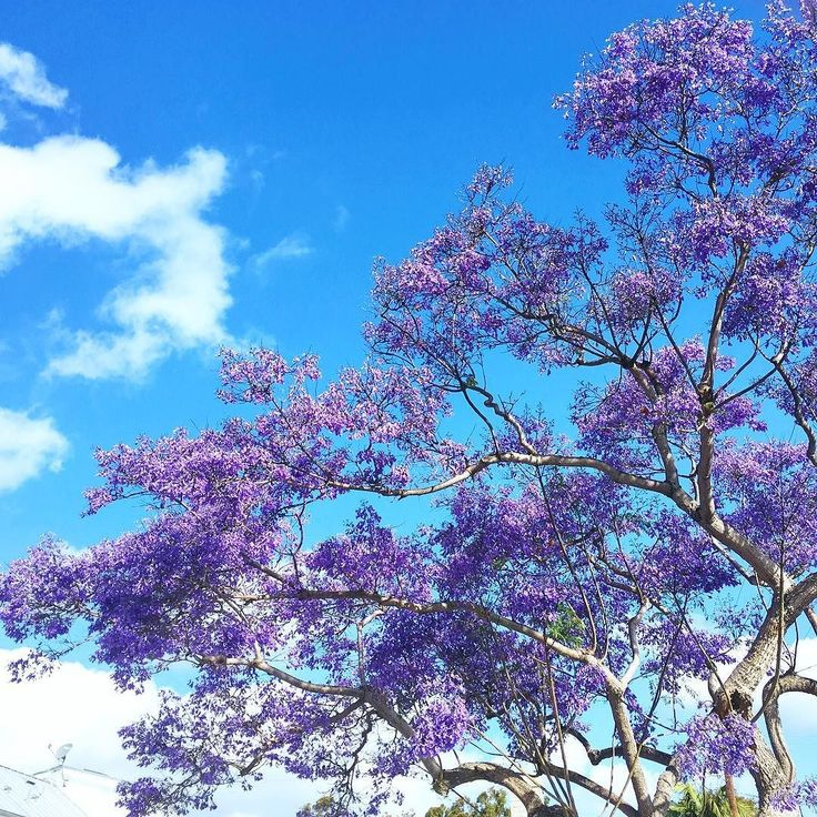 It's hard not to appreciate the beauty of the jacaranda in full bloom. I remember growing up in the LA area and seeing the city turn into a purple forest in the spring. Entire streets lined with these trees looked magical like something out of a Dr. Zeuss book. #springblooms #jacaranda