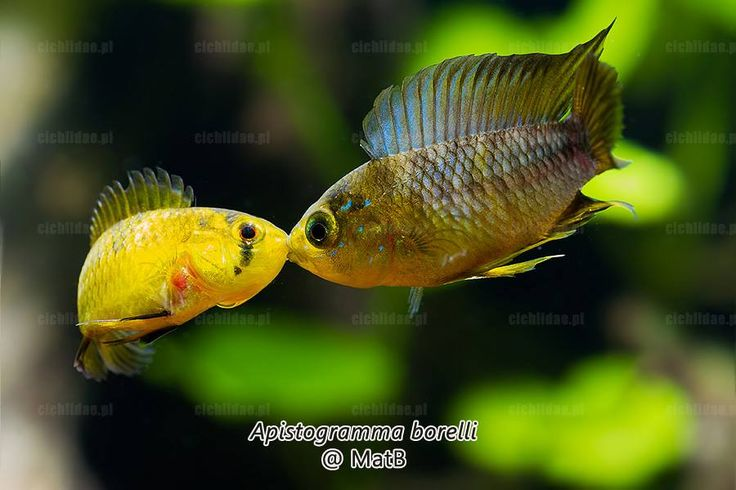 802 best texas dwarf cichlid fiend images on pinterest for Texas freshwater fish