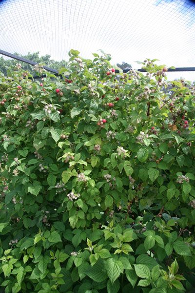 Buy raspberry Glen Ample - summer fruiting raspberry 'Glen Ample (PBR)'…