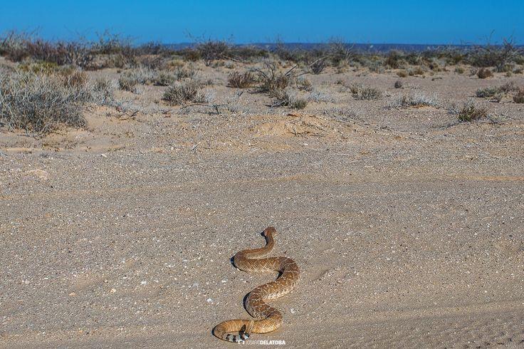 Rattlesnake in the baja`s desert #Josafatdelatoba #cabophotographer #bajacaliforniasur #mexico #desert #Rattlesnake