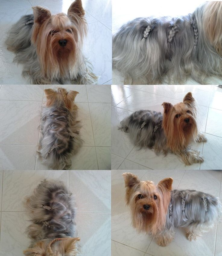 Yorkie Haircut Love It Dogs And Cats Pinterest