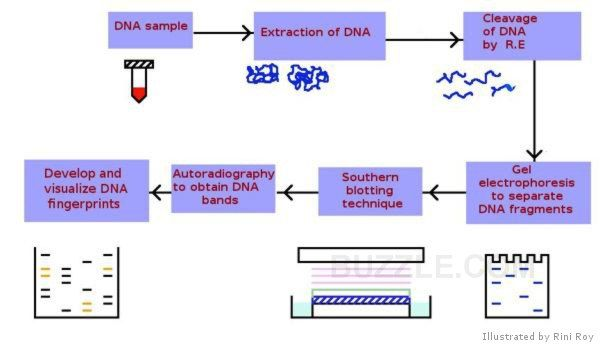 forensic dna essays Dna has come a long way over the years and is now becoming the most important toolkit for forensic scientist and law enforcement for solving a case in most court cases biological evidence is the main reason a suspect can be convicted by the number of clues the evidence gives the forensic scientist.