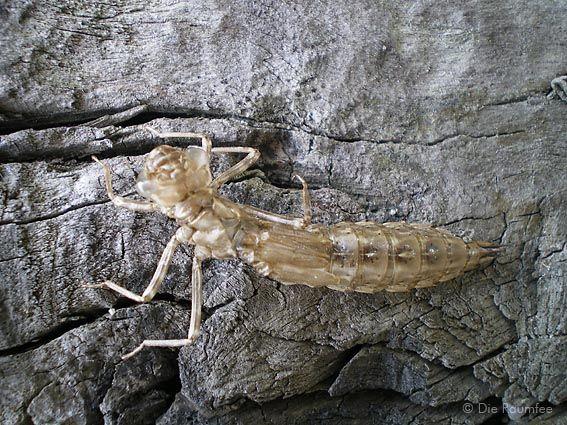Die Raumfee: Enthüllt (Libellenlarve) // Revealed (Dragonfly larva)