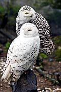 Fjälluggla, snowy owl Civetta delle nevi, foto Civetta delle nevi, Civetta delle nevi immagini