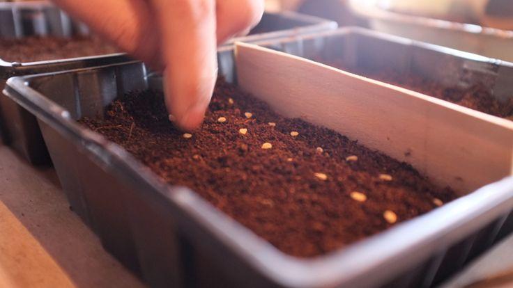 Faire ses semis de tomates