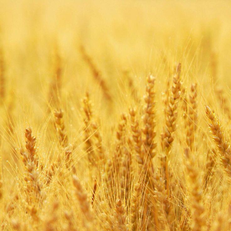 黄金の麦畑…