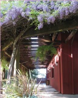 wisteria at villa chanticleer in healdsburg ca