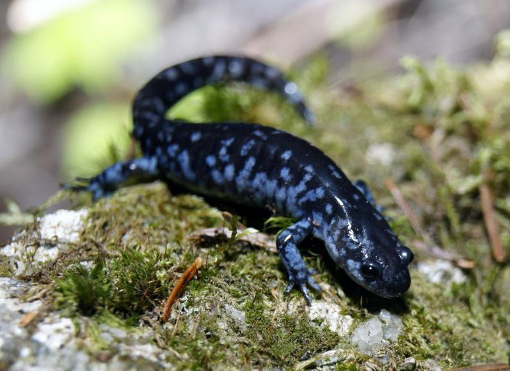 17 Best images about Salamanders on Pinterest | Cute ...