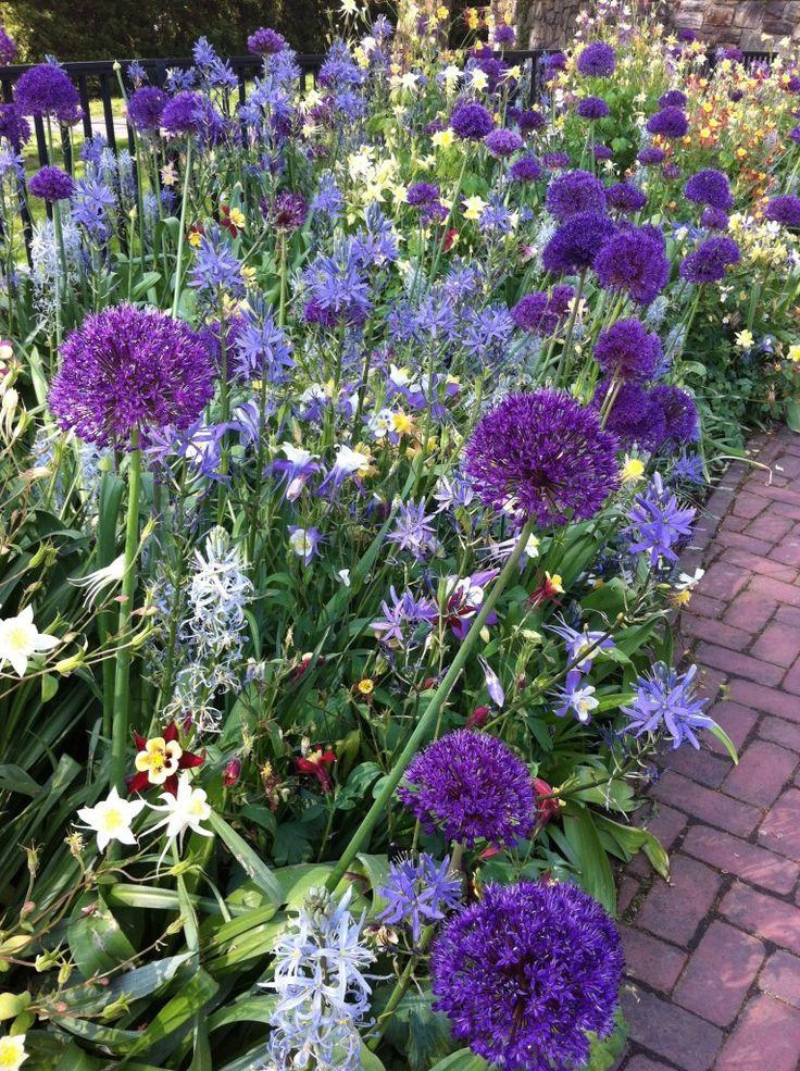 Purple allium, columbines and camassias fill a display border at Longwood Gardens in Pennsylvania.