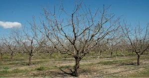 Imagen tomada del sitio web: 'www.juntadeandalucia.es/manual de producción del almendro'