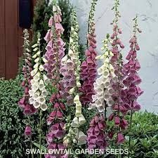 Image result for foxgloves
