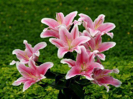 Boa noite amigos plantadores!🌱💚  Lírio é o nome dado às flores do gênero Lilium, da família Liliaceae, originárias do hemisfério norte com ocorrências na Europa, Ásia e América do Norte. Mais da metade das espécies são encontradas na China e no Japão. São flores lindas, amadas por jardineiros, floristas e pessoas que apreciam sua fragrância e beleza.  São plantas de bulbo e emitem um único broto por bulbo, de onde saem as folhas e flores. Existem mais de 600 espécies de plantas floríferas…