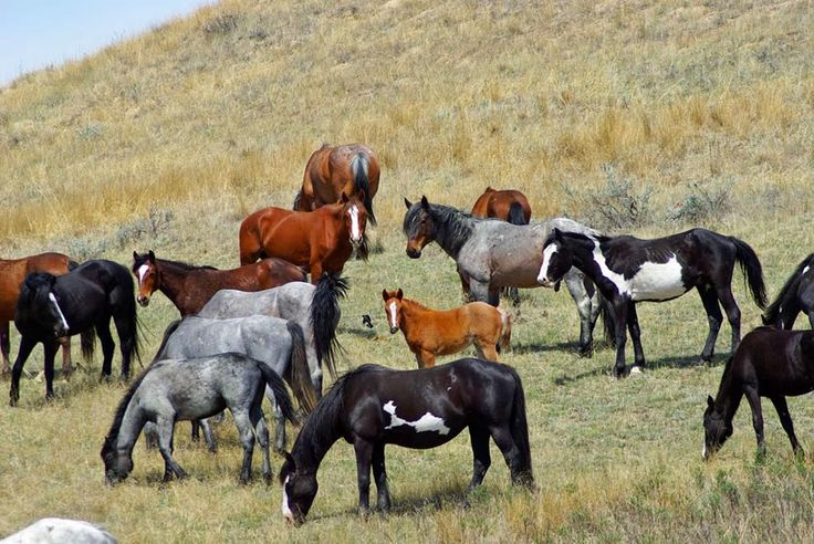Wild horses, Theodore Roosevelt National Park: Theodore Roosevelt National Park is a United States National Park comprising three geographically separated areas of badlands in western North Dakota.