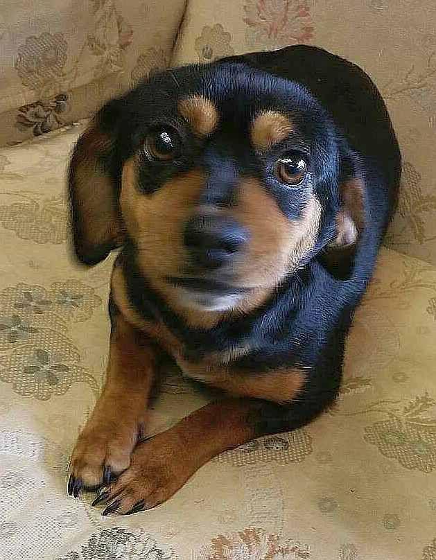 Dachshund Dog For Adoption In Rockaway Nj Adn 811052 On Puppyfinder Com Gender Female Age Young Dog Adoption Dachshund Dog Baby Dogs
