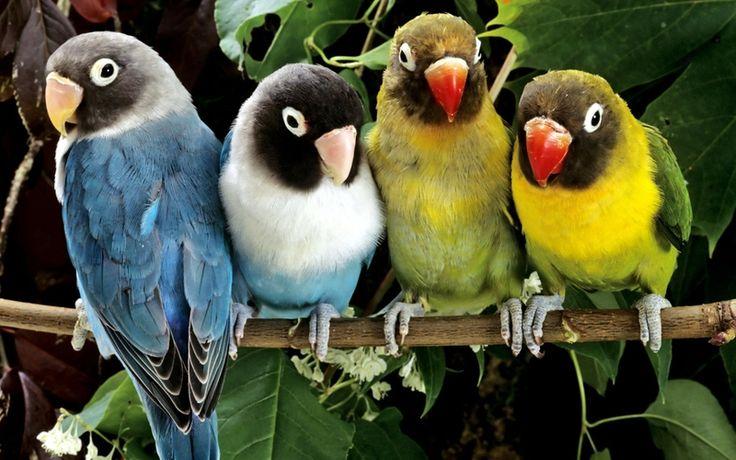 lovebird flying - Google 搜尋
