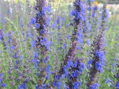 Lamiaceae Hyssop Blue Hyssopus Officinalis Excellent For Attracting Bees And Erflies Herb Gardengarden Plantsflower