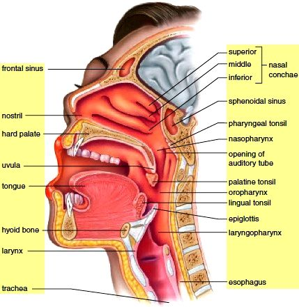 1000 ideas about nasal cavity on pinterest sphenoid bone  : facial sinus cavity diagram - findchart.co