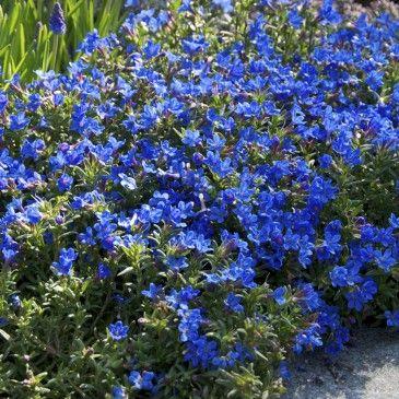Lithodora Diffusa 39 Grace Ward 39 Blue Lithospermum