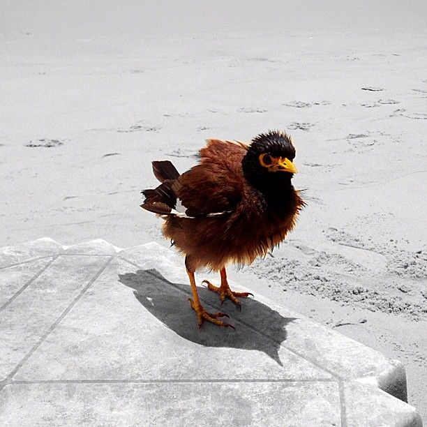 .@ckandalizzzza   #птах#птица#дрозд#thrush#beach #sand #sea #thailand #karon#karonbeach#карон#т...   Webstagram - the best Instagram viewer