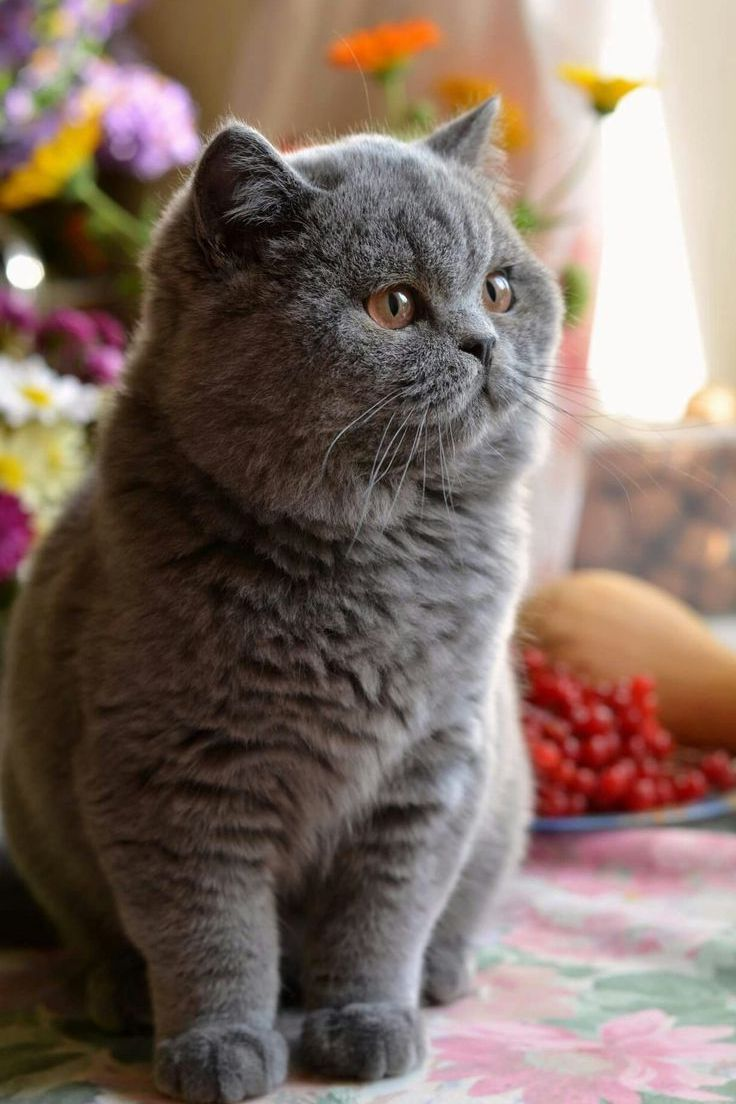 British Shorthair 25 Cute British Shorthair Photos Life Criters In 2020 British Shorthair Cats Cats British Shorthair