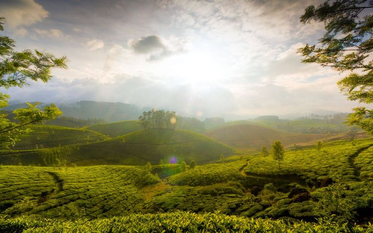 Tea Gardens of Munnar | Shola Heaven