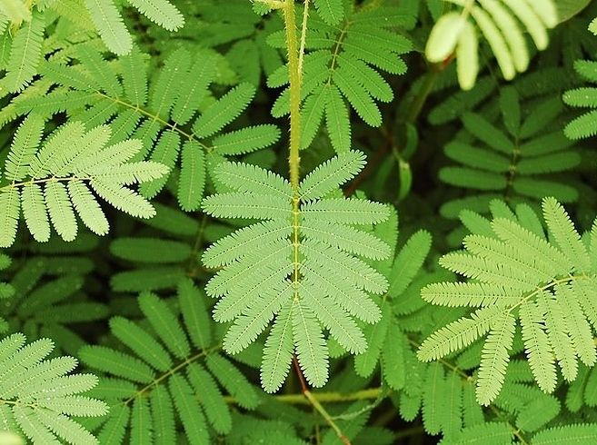 Sensitive Plant | 17 Incredible Houseplants You Need Right Now