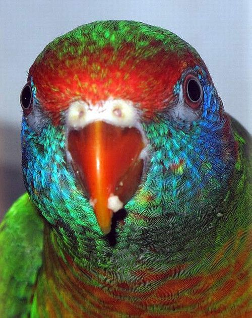 boristhebird: Gevarieerde Lorikeet, close-up van Ricardo in PR op Flickr.
